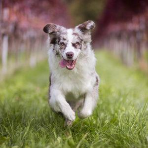5 Fakten über Ivy - Red Merle Australian Shepherd Hündin